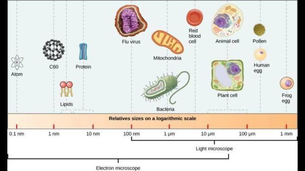 Protein vs Virus vs Bacteria size chart